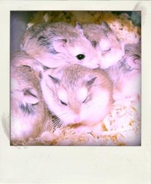 Roborovsky hamsters