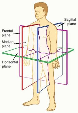 anatomical axes and planes