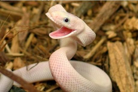 animal snake obxxdxp