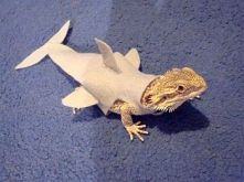 shark gecko