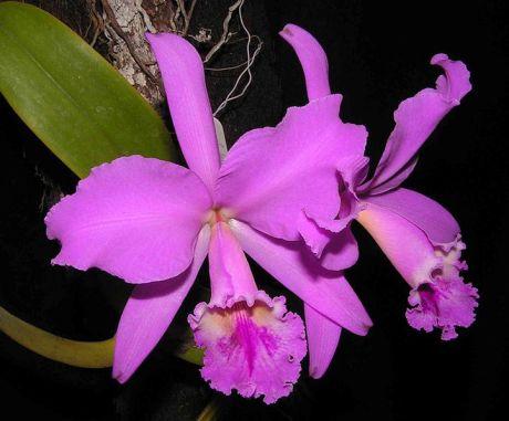 Cattleya libiata orchid wikipedia